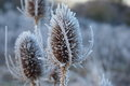 Group of frozen thistles frosty teasel in a field on a cold winter morning with the first in focus and the background blurred Stock Images