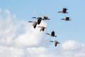 Group or gaggle of Canada Geese Branta canadensis flying Royalty Free Stock Photo