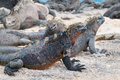 Group of galapagos marine iguana on a beach resting Stock Photo