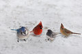 Group of Garden Variety Birds on snow Royalty Free Stock Photo