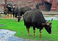 A group of Gaur in rain Royalty Free Stock Image