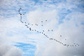 Group Of Geese Flying In A Blu...