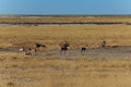 Group gemsbok or gemsbuck oryx and impala standing in field namib desert namibia africa long horn big antelope Royalty Free Stock Photo