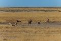 Group gemsbok or gemsbuck oryx and impala standing in field namib desert namibia africa long horn big antelope Royalty Free Stock Photo