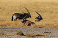 Group gemsbok or gemsbuck oryx standing field in namib desert namibia africa long horn big antelope Royalty Free Stock Image