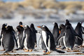 Group of Gentoo Penguin (Pygoscelis papua) together on a beach. Royalty Free Stock Photo