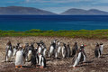 Group of gentoo penguins in the green grass. Gentoo penguins with blue sky with white clouds. Penguins in the nature habitat. Bird Royalty Free Stock Photo