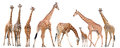 Group of giraffe isolated Royalty Free Stock Photo