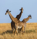 Group of giraffes in the savanna kenya tanzania east africa an excellent illustration Royalty Free Stock Images