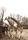 Group of giraffes in the zoo Royalty Free Stock Photo