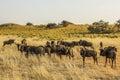 Group of gnu in the etosha national park namibia season dry savannah Royalty Free Stock Image