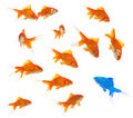A group of goldfishes with an alien inside Stock Photo