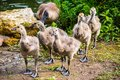 A Group Of Goslings Not Yet Fu...