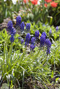 Group of grape hyacinths Stock Photo