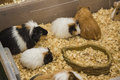 Group of guinea pigs in eating spot Royalty Free Stock Photo