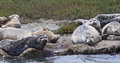 Group of harbor seals phoca vitulina on the rocks in moss landing california Stock Photo