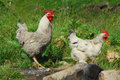Group of hens Royalty Free Stock Photo