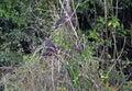 Group of Hoatzin birds Royalty Free Stock Photo
