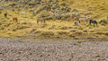 Group of Horses Eating, Patagonia, Argentina Royalty Free Stock Photo