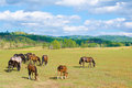 Group horses grazing green pasture Royalty Free Stock Photography