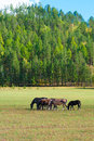 Group horses grazing green pasture near forest Stock Image