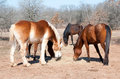 Group of horses sharing their hay Royalty Free Stock Photo