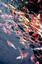 Group of Japanese koi feeding Stock Image