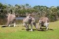 Group of kangaroos Royalty Free Stock Photo