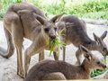 Group of kangaroos feeding in the park Royalty Free Stock Photo
