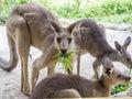 Group of kangaroos feeding in the park Royalty Free Stock Photo