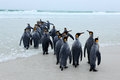 Group of King penguins, Aptenodytes patagonicus, going from white sand to sea, artic animals in the nature habitat, dark blue sky, Royalty Free Stock Photo