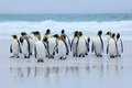 Group of king penguins coming back together from sea to beach with wave a blue sky, Volunteer Point, Falkland Islands. Wildlife sc Royalty Free Stock Photo