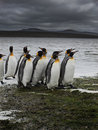 Group of King penguins walking Stock Photos
