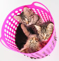 Group of kittens in a basket small Stock Photos