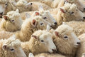 Group of lambs soft wool close together Stock Images