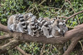 Group of lemurs on tree branch Royalty Free Stock Photo