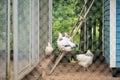 Baby hens chicks in chicken coop natural sun light