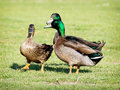 Group of mallard ducks on the lawn three spring mating Royalty Free Stock Photography