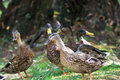 Group of mallard ducks are walking in the park by lake Royalty Free Stock Photography