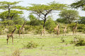 Group of masai giraffes giraffa camelopardalis tippelskirchi selous game reserve tanzania africa the selous was designated a Stock Photo