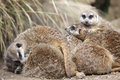 A group of meerkats huddled up together Stock Photography