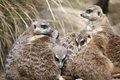 A group of meerkats huddled up together Stock Image