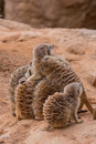 Group of meerkats hugging Royalty Free Stock Photo
