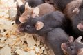 Group of Mouses Royalty Free Stock Photo