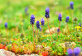 Group muscari flowers growing lush spring grass Royalty Free Stock Photo
