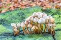 Group of mushrooms on green tree stump Royalty Free Stock Photo