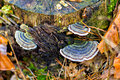 A group of the mushrooms tinder on old stump close up mushroom fallen tree with moss Royalty Free Stock Photos