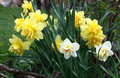 Group of narcissuses in a flower bed a spring garden yellow with a bud a difficult structure blossom Stock Photography