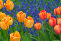 Group orange orange yellow tulips surrounded small purple lavender growing cover flowers Stock Image