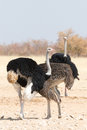 Group of ostriches seen and pictured in several national parks in namibia africa Stock Images